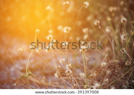 dry grass flower with sun light, close up - stock photo