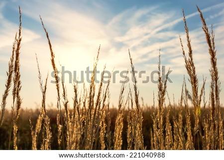 dry grass sunset - stock photo