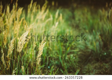 Dry Green Grass Field In Sunset Sunlight. Beautiful Yellow Sunrise Light Over Meadow. Summer In Russia - stock photo