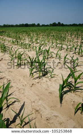 Dry ground and drought conditions in an Illinois cornfield - stock photo