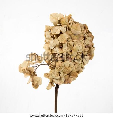 dry Hydrangea flower - stock photo