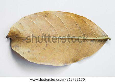dry leaf on white background - stock photo