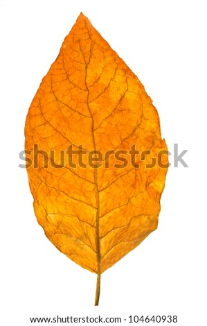 dry leaf tobacco closeup on the white background - stock photo