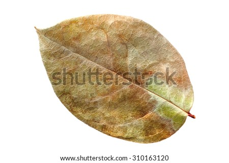 Dry leaf with a beautiful texture, isolated on a white background