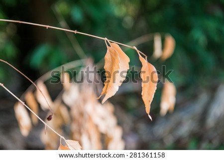 Dry leaves in Thai forest, Thailand. - stock photo