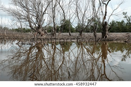 Dry mangrove forest at Ca Mau, Viet Nam, group of dried tree reflect on water, deforestation situation effect to environment, can make disaster