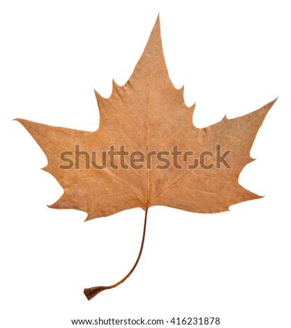 Dry maple leaf isolated on white. - stock photo