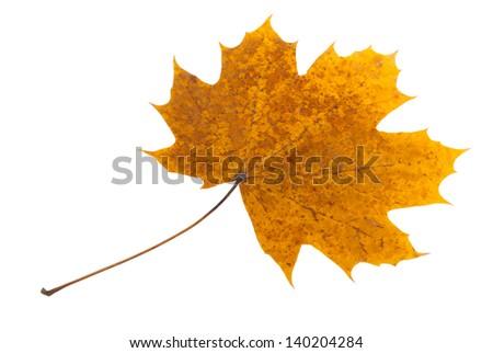 Dry maple leaf isolated on white background - stock photo