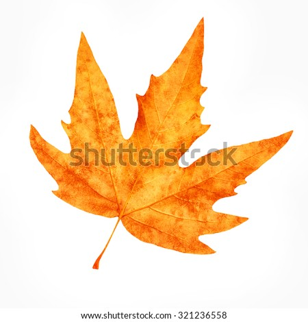 Dry maple leaf isolated on white background, beautiful autumnal detail, weather changes, beauty of autumn nature - stock photo