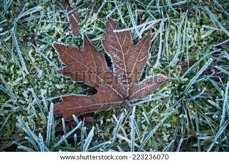 Dry maple leaf on a frost covered grass and moss - stock photo