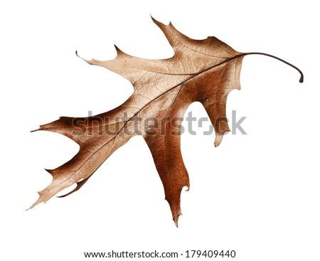 dry oak leaf isolated on white background - stock photo