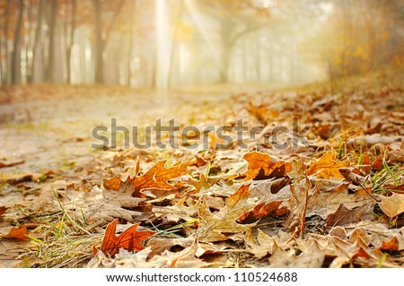 Dry oak leaves on the ground in a beautiful autumn forest - stock photo
