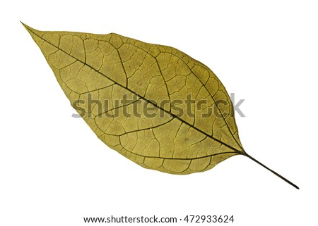 Dry old brown leaf with isolated white background