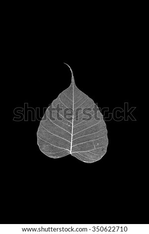 dry Pho leaf detail texture on black background - stock photo