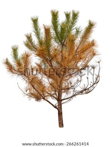 dry pine tree is isolated on a white background - stock photo