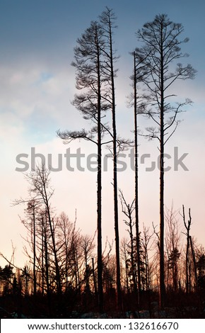 Dry pine trees silhouette above colorful evening sky - stock photo