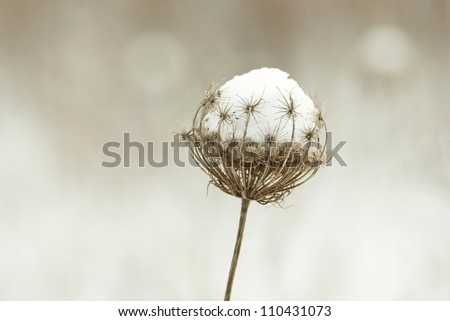 dry plants in snow, meadow at winter