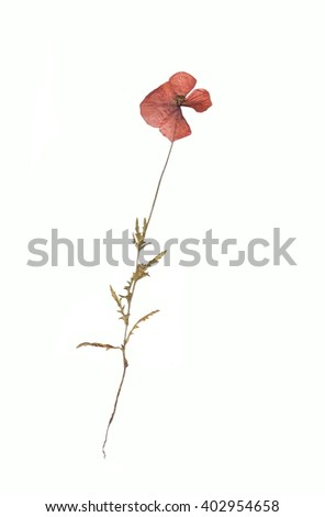 Dry, pressed single poppy flowers isolated on white background. - stock photo