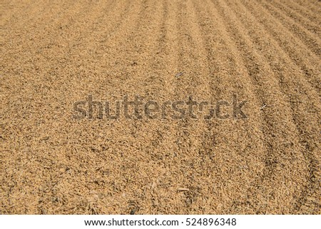 dry raw paddy rice grain for background and wallpaper in yellow color.