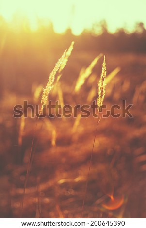 Dry Red Grass Field In Sunset Sunlight. Beautiful Yellow Sunrise Light Over Meadow. Summer In Russia - stock photo