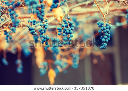 Dry red wine grapes on the grapevine - stock photo