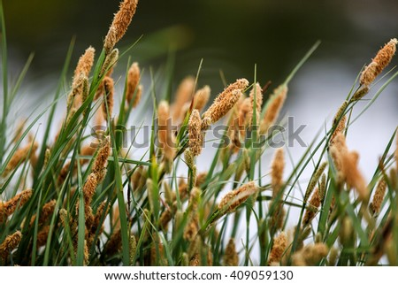Dry reed bending over the water - stock photo