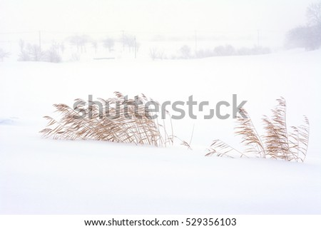 Dry reeds against the wind and snow on winter scene.
