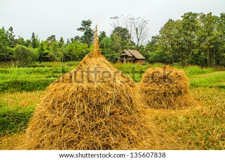 Dry rice trees and earthen house at the rice farm - stock photo