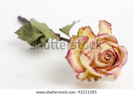 dry roses - stock photo