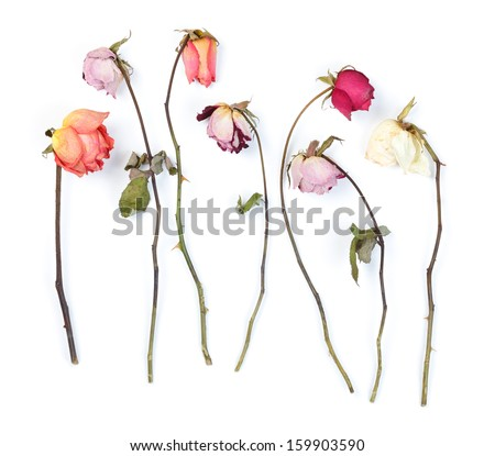 Dry roses isolated on white - stock photo