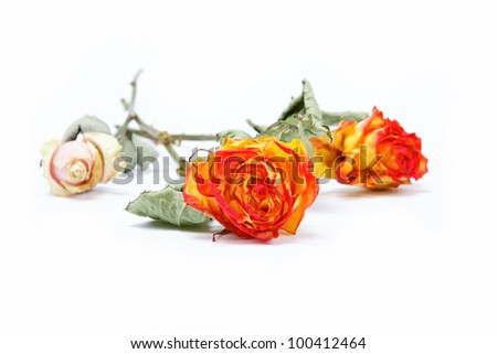 Dry roses on a white background. - stock photo