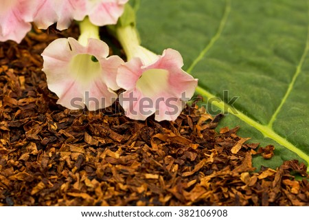 Dry smoking tobacco leaf and fresh pink tobacco flowers on green tobacco  leaf background  - stock photo