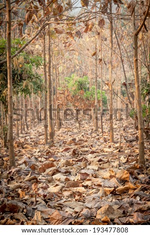 dry teak trees at agricultural forest in winter