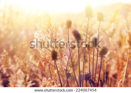 Dry thistle  - stock photo