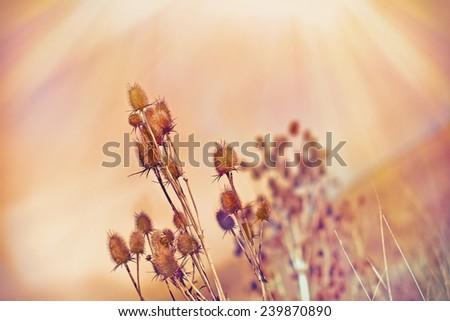 Dry thistle (dry burdock) lit by sun rays - stock photo