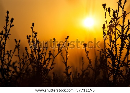 dry thistles silhouette on sunrise