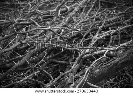 Dry thorn of die bush plant - stock photo
