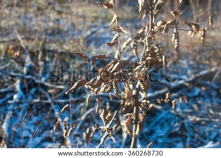 Dry tree branches with dry brown leaves and first snow on the ground. Sunny but cold winter morning near Lviv, Ukraine.  - stock photo