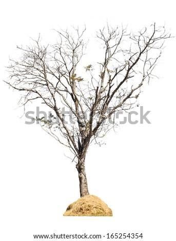 Dry tree  isolated on white background - stock photo
