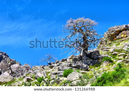 Dry tree on a slope. Shot in Krakadouw, Cederberg Mountains, near Clanwilliam, Western Cape, South Africa. - stock photo