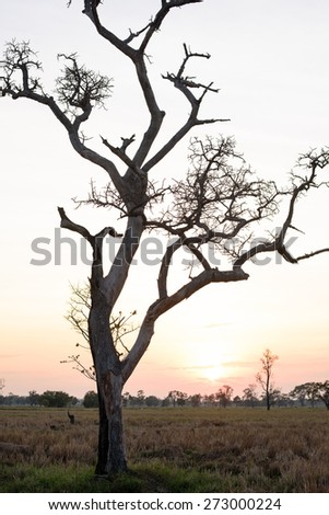Dry tree shape stand mid the fields at sunset, Thailand