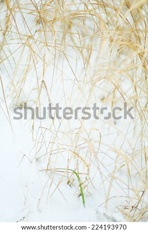 Dry vegetation emerging from snow - stock photo