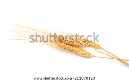 Dry wheat grains branch on white