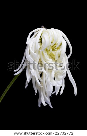 dry white flower, isolated on black background