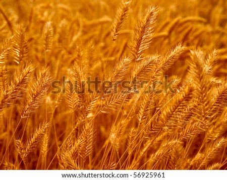 Dry yellow grass closeup background.