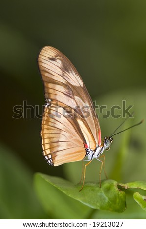 Dryas julia butterfly - stock photo