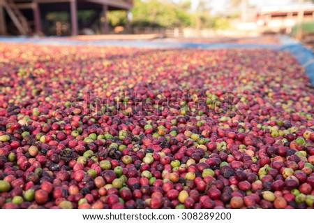 drying coffee berries in the sun. - stock photo