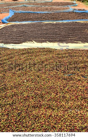 drying red berries coffee in the sun.