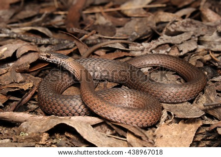 Drysdalia is a genus of snakes, commonly known as crowned snakes, belonging to the family Elapidae. The three species in this genus are venomous, but not considered deadly. - stock photo
