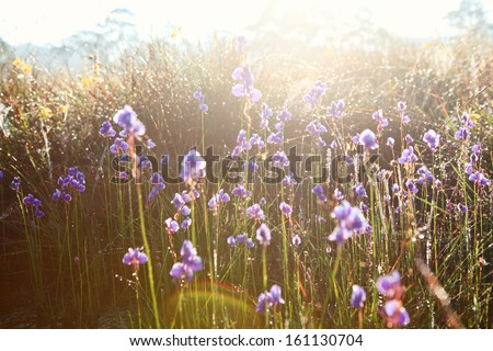 Du-si-tra the beautiful purple flowers during sunrise